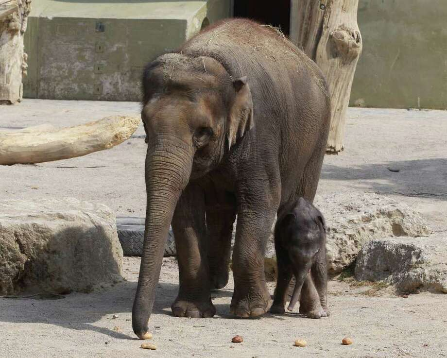MUNICH, GERMANY - MAY 12:  A newly-born male baby elephant, who so far does not have a name, walks with his mother Temi during his first venture outside at their enclosure at the Tierpark Hellabrun zoo on May 12, 2011 in Munich, Germany. The baby elephant was born at the zoo on May 6.  (Photo by Alexander Hassenstein/Getty Images) *** Local Caption *** Temi; Photo: Getty Images