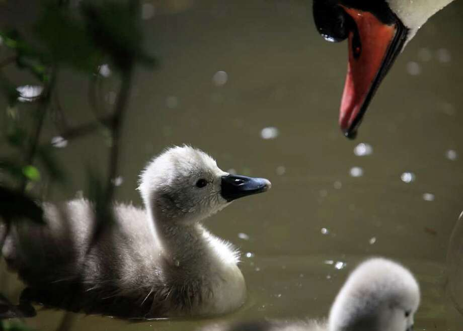 ABBOTSBURY, ENGLAND - MAY 10:  One of the first cygnets to hatch early takes a dip in the water at Abbotsbury Swannery, on May 10, 2011 in Abbotsbury, England. The first of more than 1,000 cygnets that will hatch over the next six weeks have started arriving two weeks earlier than normal this year, the second earliest date ever recorded since the swannery began 600 years ago. It's thought that the high temperatures in March and April encouraged  the swans to nest early. There are currently about 900 swans and 150 nests at the site, which is the world's only managed colony of wild mute swans. Photo: Getty Images