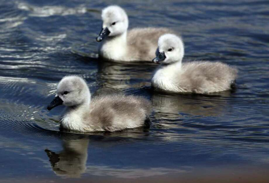 ABBOTSBURY, ENGLAND - MAY 10:  Some of the first cygnets to hatch early swim at Abbotsbury Swannery on May 10, 2011 in Abbotsbury, England. The first of more than 1,000 cygnets that will hatch over the next six weeks have started arriving two weeks earlier than normal this year, the second earliest date ever recorded since the swannery began 600 years ago. It's thought that the high temperatures in March and April encouraged  the swans to nest early. There are currently about 900 swans and 150 nests at the site, which is the world's only managed colony of wild mute swans. Photo: Getty Images