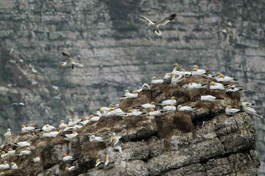 BRIDLINGTON, UNITED KINGDOM - MAY 07:  Gannets nest at the RSPB's Bempton Cliffs on the East Yorkshi