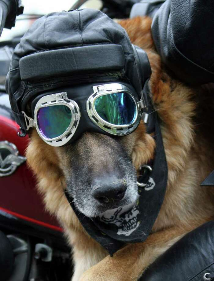 A biker poses with his dog wearing goggles on May 7, 2011 as thousand participants take part in the opening day of the bikers season, in Vilnius. AFP PHOTO / PETRAS MALUKAS Photo: AFP/Getty Images