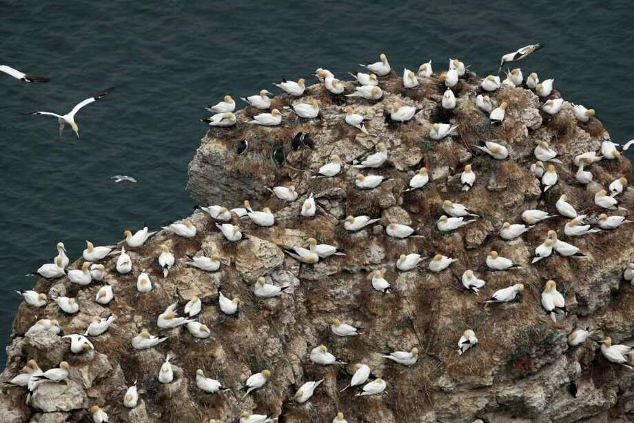 BRIDLINGTON, UNITED KINGDOM - MAY 06:  Gannets nest at the RSPB's Bempton Cliffs on the East Yorkshire coast on May 6, 2011 in Bempton, United Kingdom. Around 20,000 Gannets that pair for life and can live for over 20 years make up the quarter of a million seabirds that return to nest each summer on these 100 meter high chalk cliffs at Bempton every year. The Gannets that nest on the reserve make up what is the biggest breeding colony on the UK mainland and with a wingspan of up to two metres, is the largest seabird in the UK. Other birds that live at Bempton include, Kittiwake, Guillemots, Razorbill, Fulmars and the iconic Puffin which nest in burrows on the top of the huge cliff faces. Photo: Getty Images
