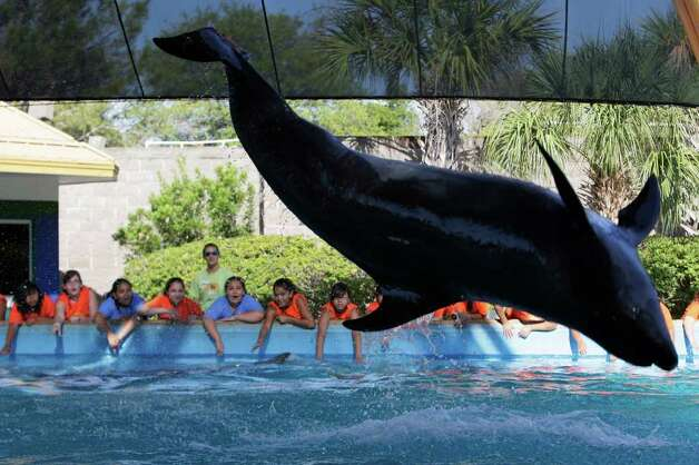 A dolphin performs for a group of students at SeaWorld. (File photo) Photo: JERRY LARA, San Antonio Express-News / glara@express-news.net