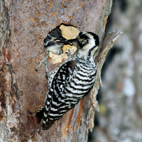 A female ladder-backed woodpecker feeds its baby, which is being raised in a nest cavity 20 feet away from Mims' rural office. Photo: Forrest M. Mims III/Special To The Express-News / ALL RIGHTS RESERVED.