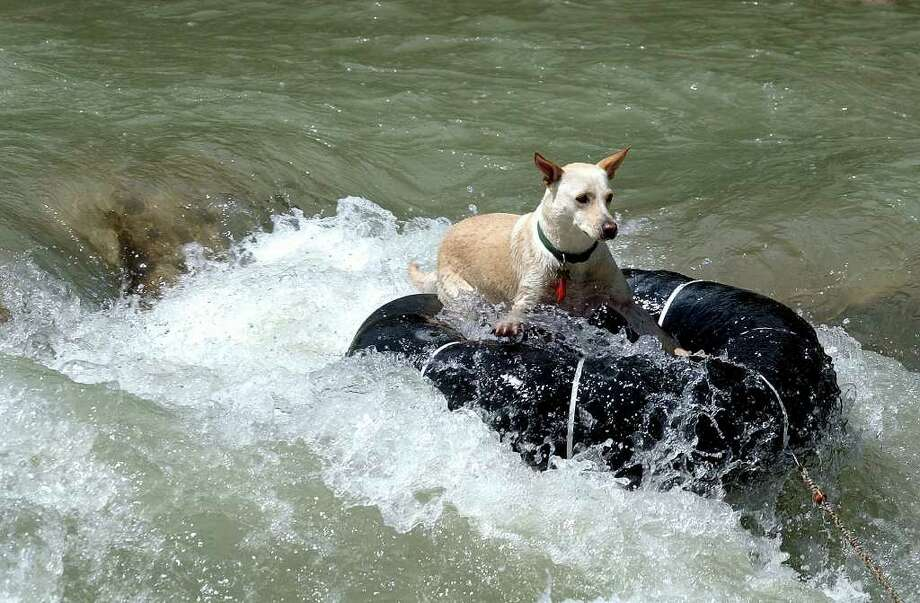 A tubing dog hangs ten over the Huaco Falls on the Guadalupe River Monday.  The canines owner spilled out of his tube, but the dog negotiated the white water with no trouble. TOM REEL/STAFF Photo: TOM REEL, SAN ANTONIO EXPRESS-NEWS
