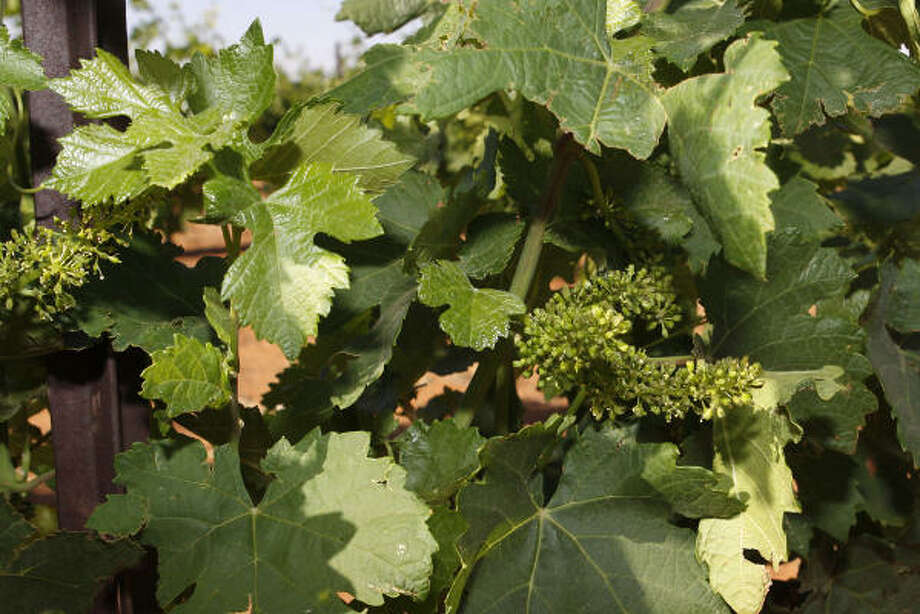 The Reddy Vineyards, located outside of Brownfield, are having success with varietals such as petite syrah. Photo: DARREL THOMAS