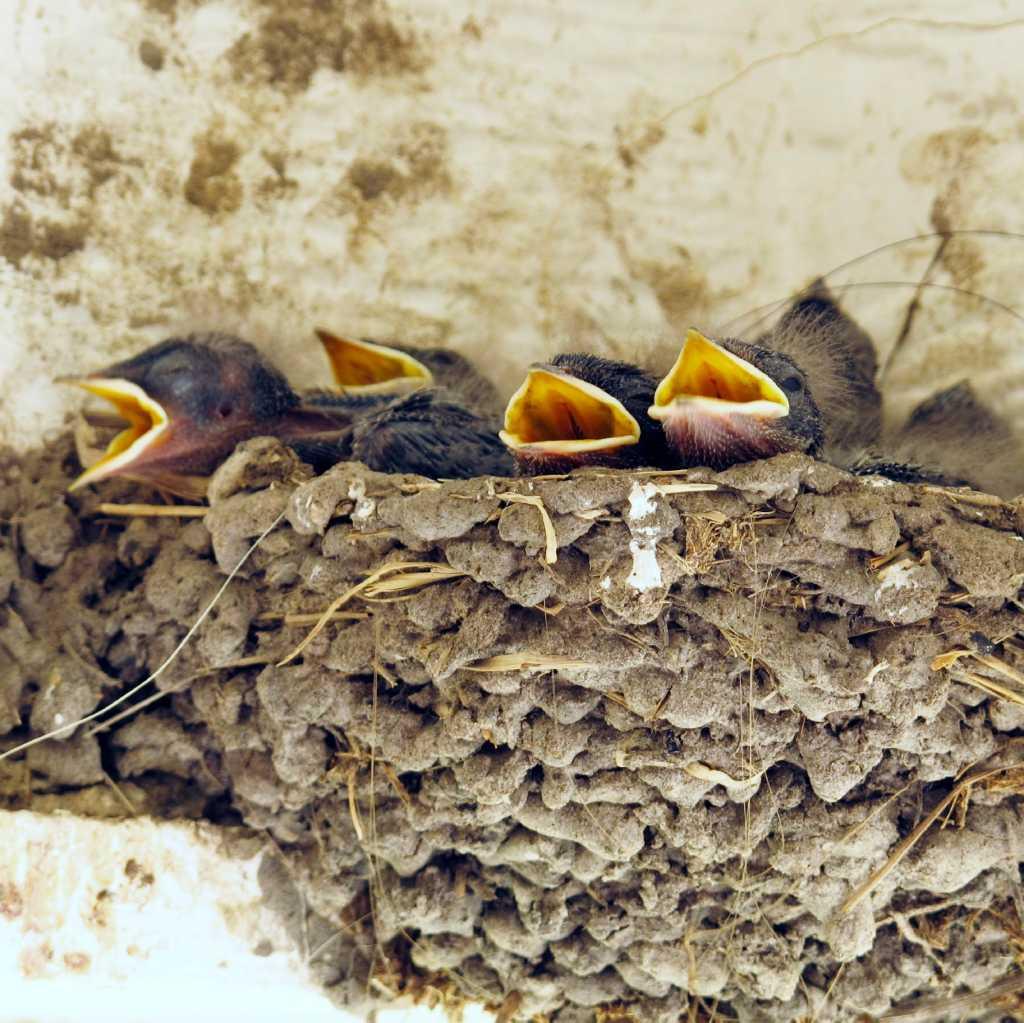 Если в вашем сновидении ласточка вьет гнездо — это добрый знак.