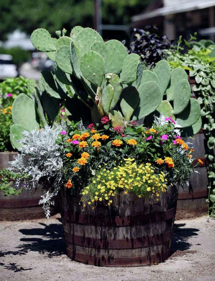 FOR SALIFE - Plants and cacti Monday May 16, 2011 in Gruene, Tx.  (PHOTO BY EDWARD A. ORNELAS/eaornelas@express-news.net) Prickly pear cactus, yellow Dahlbery daisies, orange marigolds, dusty miller and pentas welcome visitor to historic Gruene. Photo: EDWARD A. ORNELAS, Eaornelas@express-news.net / SAN ANTONIO EXPRESS-NEWS (NFS)