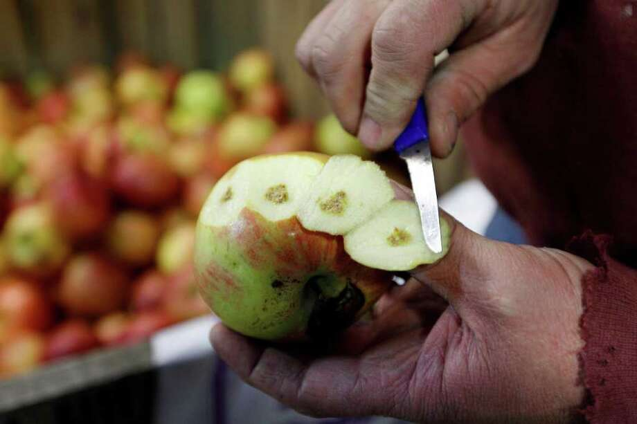 In this Thursday, April 14, 2011,  Tom Haas displays an apple from last years crop that shows damage caused by brown marmorated stink bugs at Cherry Hill Orchards Inc., in Lancaster, Pa.  The relatively new pest originally from Asia  is threatening to wreak havoc on mid-Atlantic orchards. Photo: Matt Rourke, AP / AP