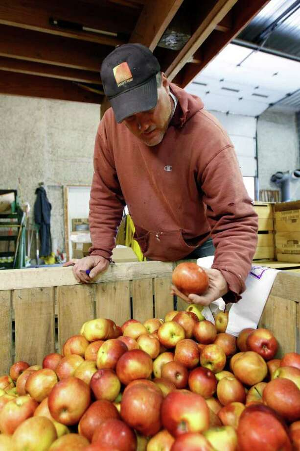 In this Thursday, April 14, 2011, Tom Haas looks through a bin of apples during an interview with the Associated Press at Cherry Hill Orchards Inc., in Lancaster, Pa.  Brown marmorated stink bugs, a relatively new pest originally from Asia is threatening to wreak havoc on mid-Atlantic orchards. Photo: Matt Rourke, AP / AP