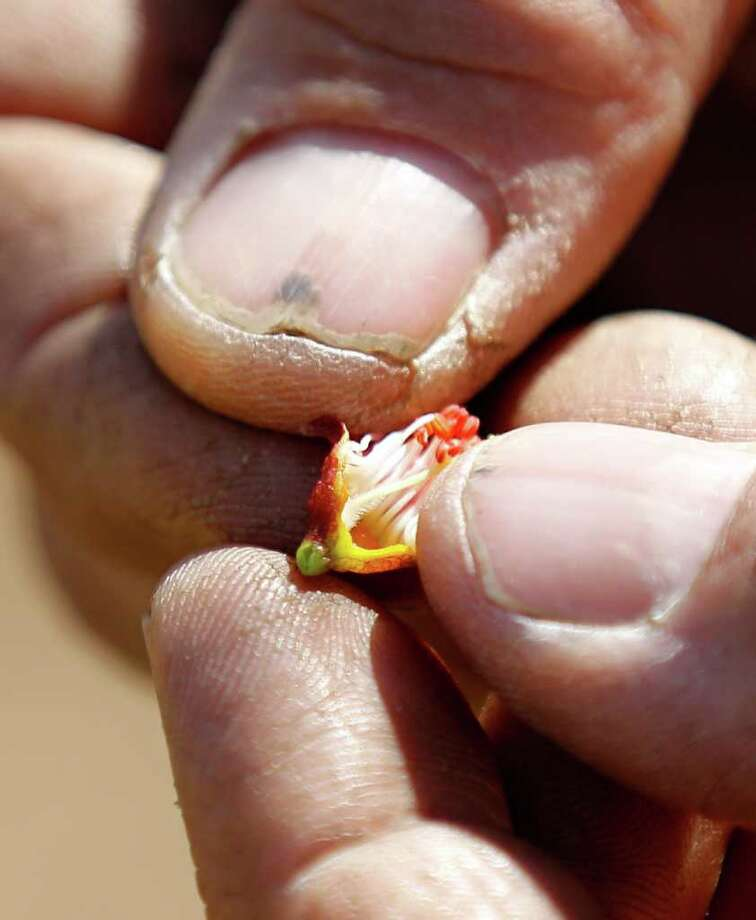In this Thursday, April 14, 2011, Tom Haas displays a peach blossom during an interview with the Associated Press at Cherry Hill Orchards Inc., in Lancaster, Pa. Brown marmorated stink bugs, a relatively new pest originally from Asia is threatening to wreak havoc on mid-Atlantic orchards. Photo: Matt Rourke, AP / AP