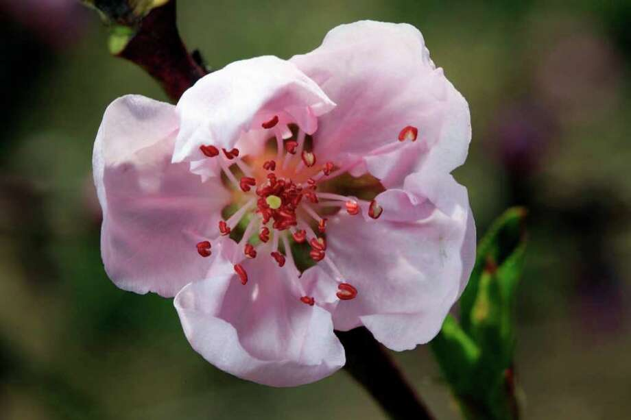 This Thursday, April 14, 2011 photo shows a peach blossom at Cherry Hill Orchards Inc. in Lancaster, Pa. The invasive brown marmorated stink bug was first identified in Allentown, Pa. in 1998, but researchers there think it had been around for at least a couple of years. It is now is in 33 states, including every state east of the Mississippi River and along the Pacific coast. In the summer of 2010, the insect damaged 20 percent to 100 percent of the fruit crops in some areas of Maryland and West Virginia, according to government entomologists. Photo: Matt Rourke, AP / AP