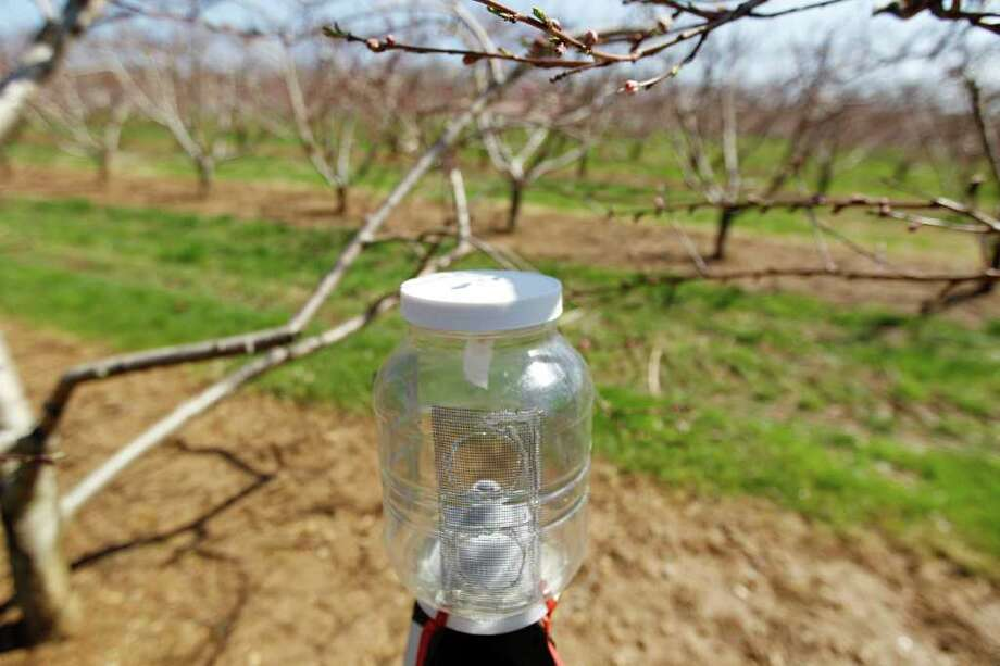 This Thursday, April 14, 2011 shows a researcher's brown marmorated stink bug trap at Cherry Hill Orchards Inc. in Lancaster, Pa. The invasive species was first identified in Allentown, Pa. in 1998, but researchers there think it had been around for at least a couple of years. It is now is in 33 states, including every state east of the Mississippi River and along the Pacific coast. In the summer of 2010, the insect damaged 20 percent to 100 percent of the fruit crops in some areas of Maryland and West Virginia, according to government entomologists. Photo: Matt Rourke, AP / AP