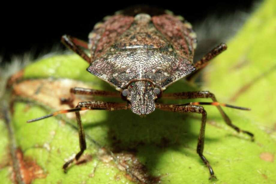 In this Thursday, April 14, 2011, shown is a brown marmorated stink bug at a Penn State research station in Biglerville, Pa. The relatively new pest originally from Asia is threatening to wreak havoc on mid-Atlantic orchards. Photo: Matt Rourke, AP / AP