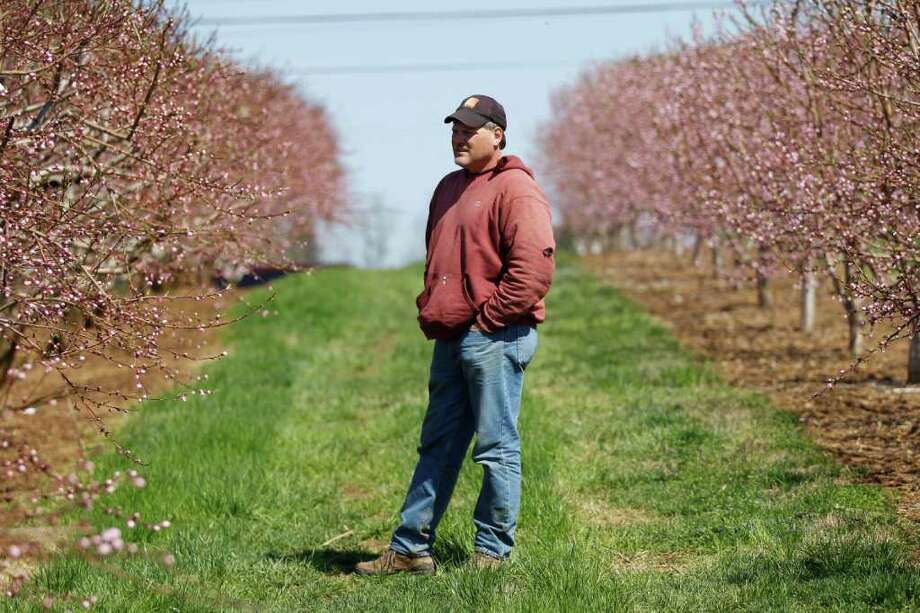 FILE - In this Thursday, April 14, 2011, file photo Tom Haas stands in his Cherry Hill Orchards in Lancaster, Pa. Stink bugs wiped out up to 40 percent of Haas¿ peaches last season. The peaches looked so bad that he let the fruit fall to the ground, where it rotted away over the winter. Photo: Matt Rourke, AP / AP