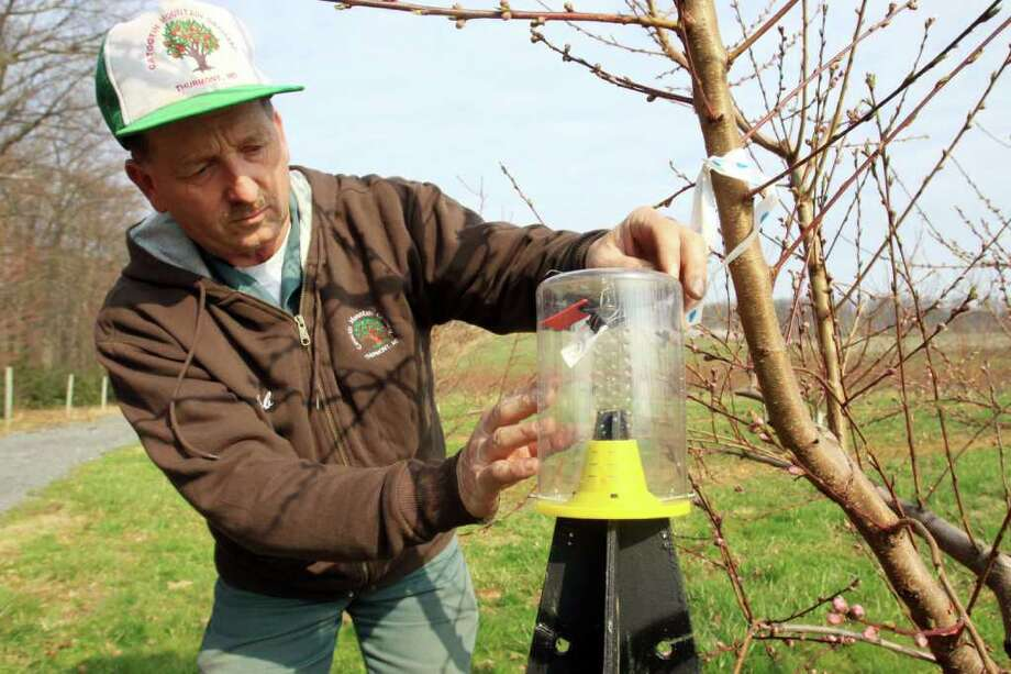 In this April 7, 2011 photo, Robert Black, owner of Catoctin Mountain Orchards, checks for stink bugs in a trap at the end of a row of apple trees, in Thurmont, Md.  Federal researchers have set up devices in Black¿s operation and in eight other commercial orchards in Maryland and West Virginia to monitor the bugs. Photo: Timothy Jacobsen, AP / FR14700 AP