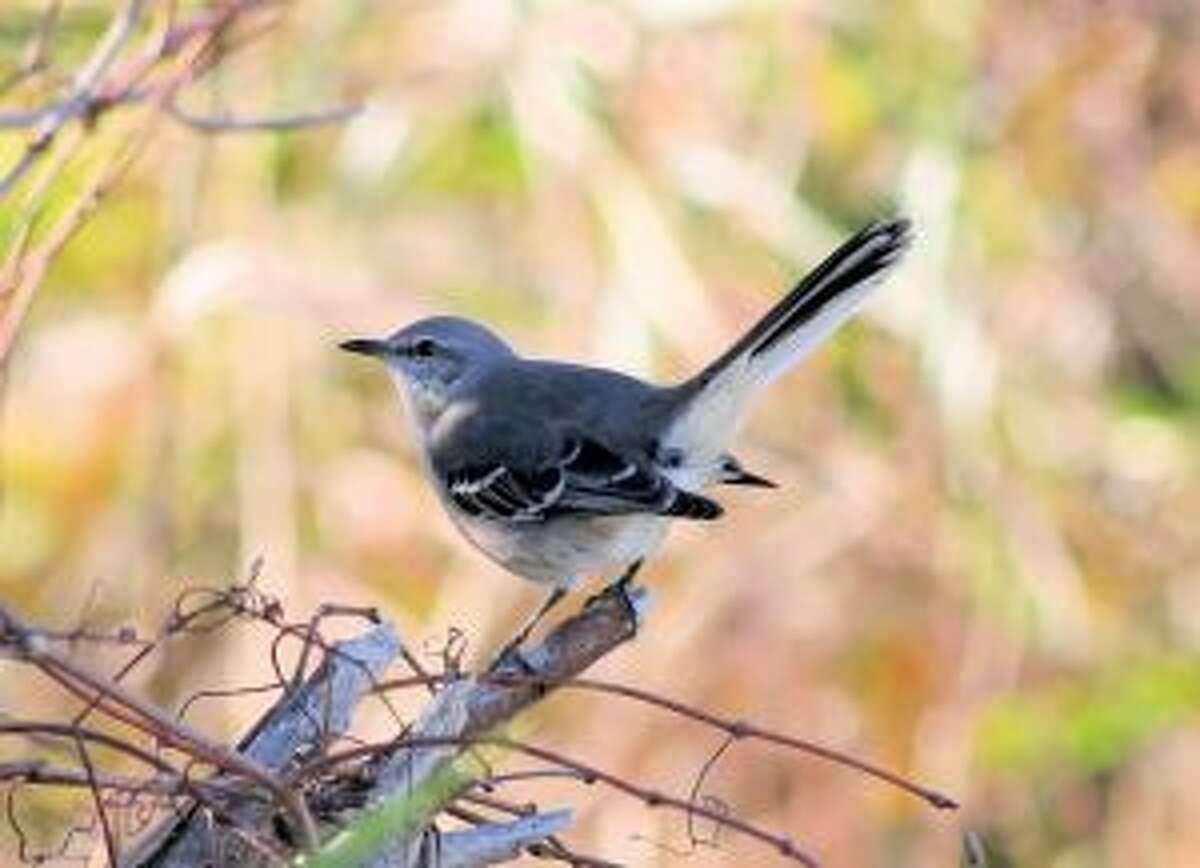 The mockingbird was adopted as the state bird of Texas in 1927, according to TexasAlmanac.com.