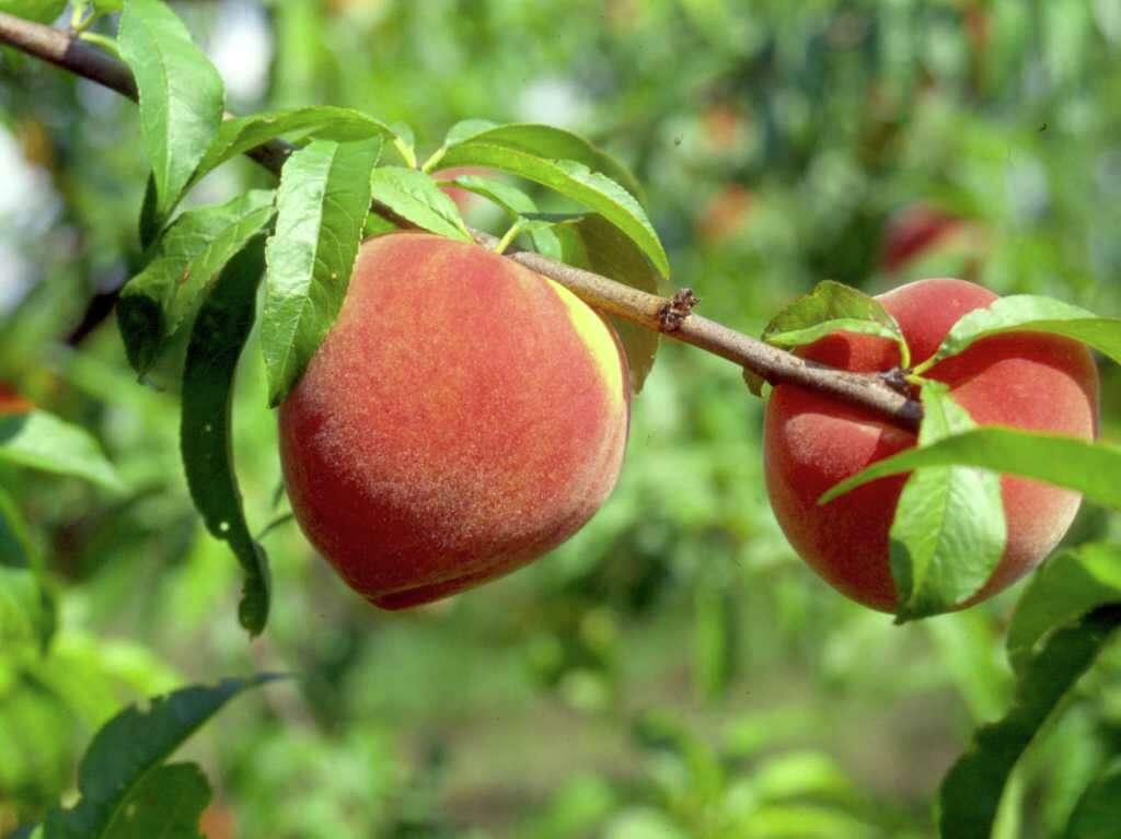 Sam Houston Peach Tree Care Sevenstonesinc