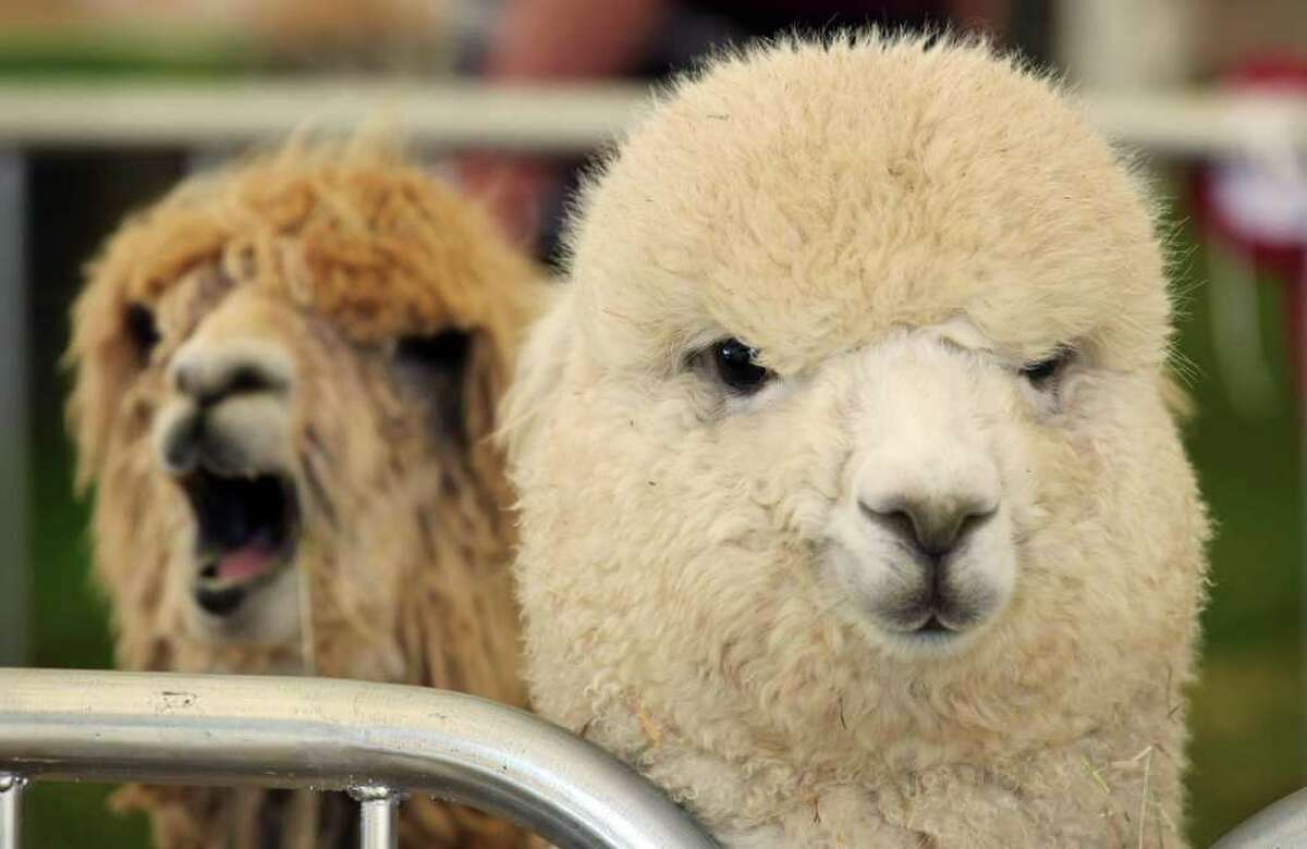 Alpacas wait to be judged in the arena at the Devon County Show on May 19, 2011 in Exeter, England.