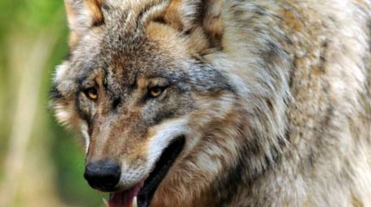 The gray wolf:  House Republicans' spending bill would remove all Endangered Species Act protection in the lower 48 states.