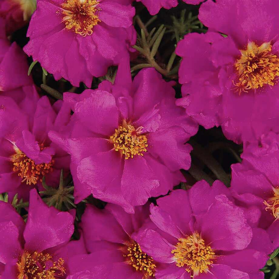 Water-thrifty portulaca is a good choice for summer color. Plant this succulent in a sunny, well-draining spot. Do keep the soil moist while it establishes. / cd