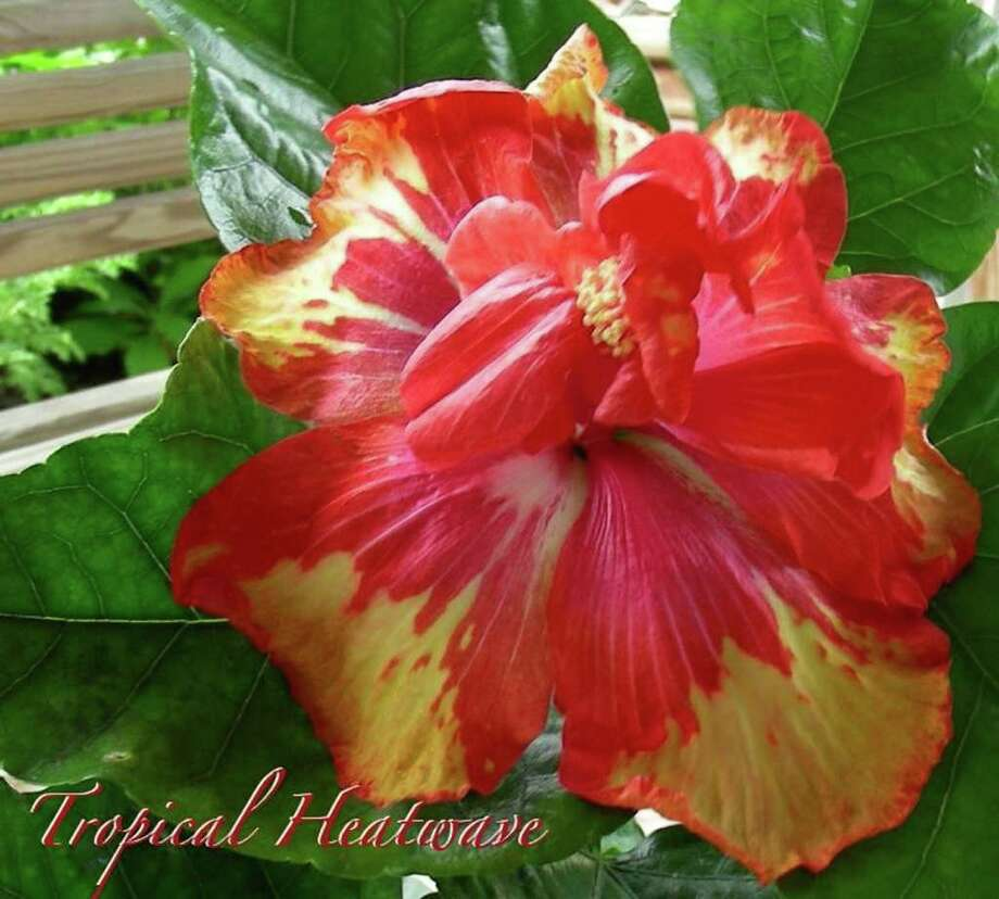 'Tropical Heatwave,' a Barry Schlueter hybrid, will be available at the Lone Star Chapter's Show and Sale. Photo: Courtesy