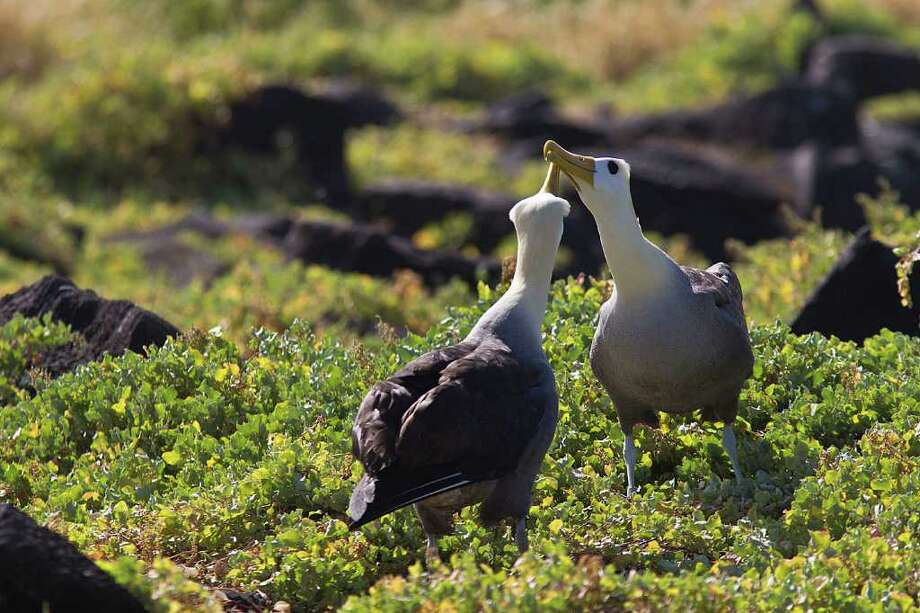 A pair of waved albatross engage in an animated courtship ritual on Espanola Island in the Galapagos.  Photo Credit:  Kathy Adams Clark.  Restricted use. Photo: Kathy Adams Clark / Kathy Adams Clark/KAC Productions