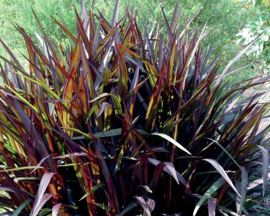 'Princess' pennisetum is a non-flowering purple fountain grass with bold foliage that holds its rich color in summer. Photo: Proven Winners Photo
