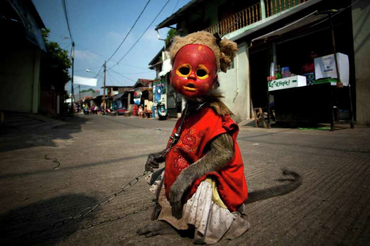 Atun, a trained monkey, takes part in a street performance in Jakarta, Indonesia. The street performances usually involve the monkeys wearing masks, such as dolls' heads or attire to mimic humans, with the monkeys trained to act out human activities such as shopping, riding bicycles or other simulations of human behavior.