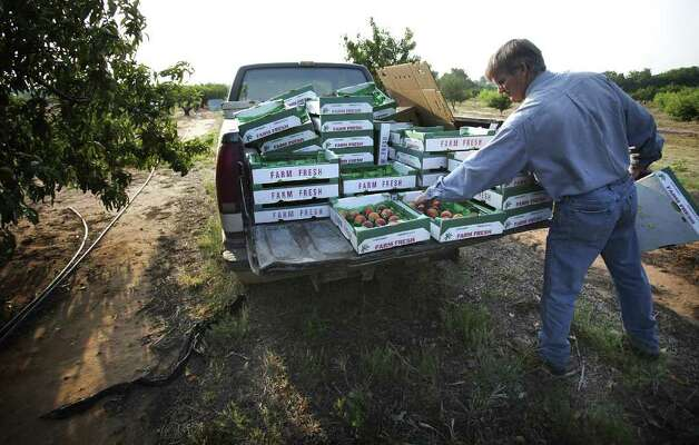 Metro - Russ Studebaker loads some cases of peaches in the back of his pickup as prepares to take them to the family fruit and vegetable stand to be sold on HWY 290 just outside Fredericksburg.  Monday, June 6, 2011.   Photo Bob Owen/rowen@express-news.net Photo: BOB OWEN, SAN ANTONIO EXPRESS-NEWS / rowen@express-news.net