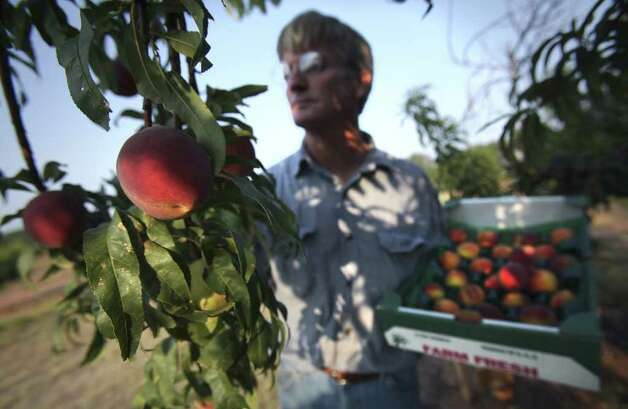 Metro - Russ Studebaker picks peaches at his farm on HWY 290 just outside Fredericksburg, to be sold at his roadside stand.  Monday, June 6, 2011.   Photo Bob Owen/rowen@express-news.net Photo: BOB OWEN, SAN ANTONIO EXPRESS-NEWS / rowen@express-news.net