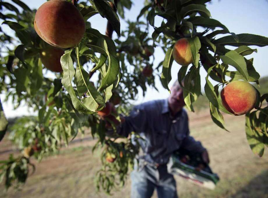 Metro - Russ Studebaker, owner of the Studebaker Farm on HWY 290 just outside Fredericksburg, picks a crop of peaches to be sold at his roadside stand, Monday, June 6, 2011.   Photo Bob Owen/rowen@express-news.net Photo: BOB OWEN, SAN ANTONIO EXPRESS-NEWS / rowen@express-news.net