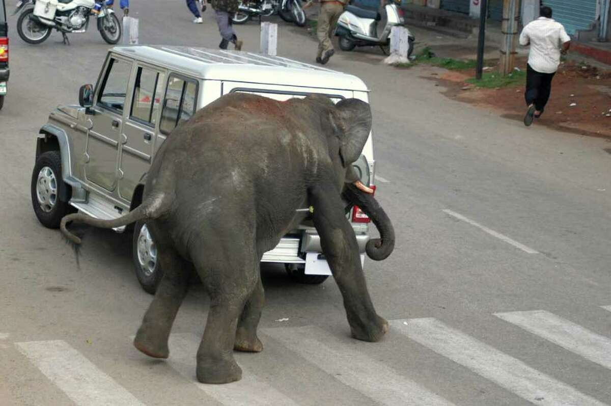 An Indian elephant, with a tranqulizer dart in its side, brushes past a car as it walks along a street in Mysore on Wednesday. Two wild elephants trampled one person to death in a three-hour rampage in the southern Indian city of Mysore, causing widespread panic, local officials said. State forest department officials said the young jumbos, which were later tranquilized and captured, came from a forest about 22 miles)away with two others, who remain at large on the outskirts of the city, which is 140 kilometer from the tech hub of Bangalore. AFP PHOTO/STR