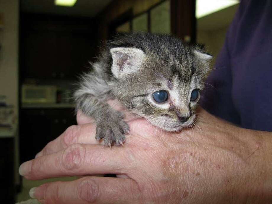 This kitten is one of six found in a Lumberton dumpster. It is the only one who survived. Joy Wooley/The Hardin County News