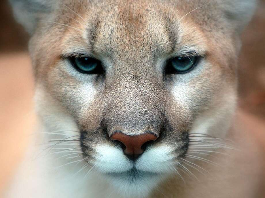 A photo of a mountain lion taken at the Philadelphia Zoo on October 2, 2007. Photo: Art G. / Flickr