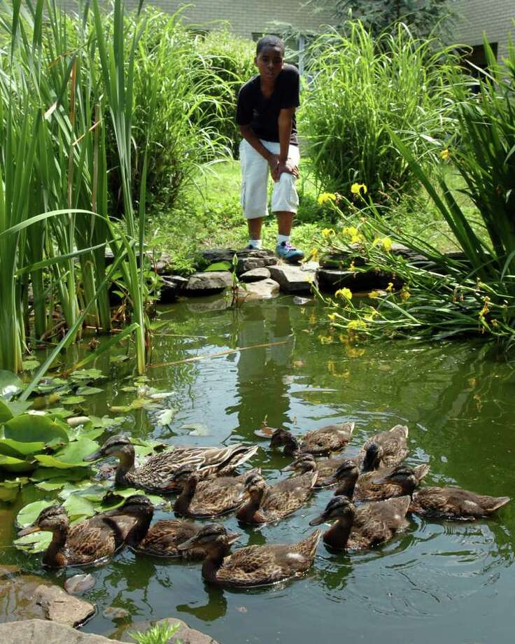 Kareem Row, a 7th grader at Blackham School, watches a family of ducks in a small pond in the school's echo-habitat courtyard Friday, June 10th, 2011. Students and faculty have watched as a mother duck has raised eleven ducklings this spring. Photo: Ned Gerard / Connecticut Post