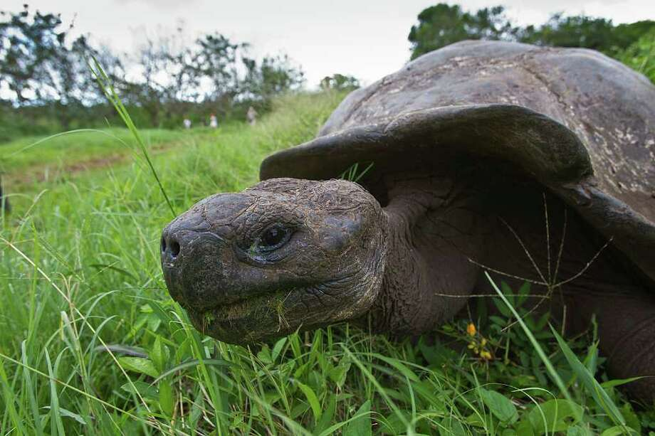 Galapagos giant tortoises can weigh over 500 pounds and measure four to six feel long.  Photo Credit:  Kathy Adams Clark.  Restricted use. Photo: Kathy Adams Clark / Kathy Adams Clark/KAC Productions