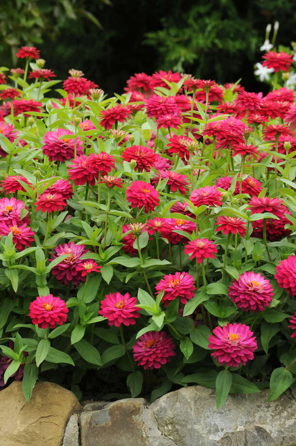 Double Zahara Cherry zinnia. Photo: National Garden Bureau