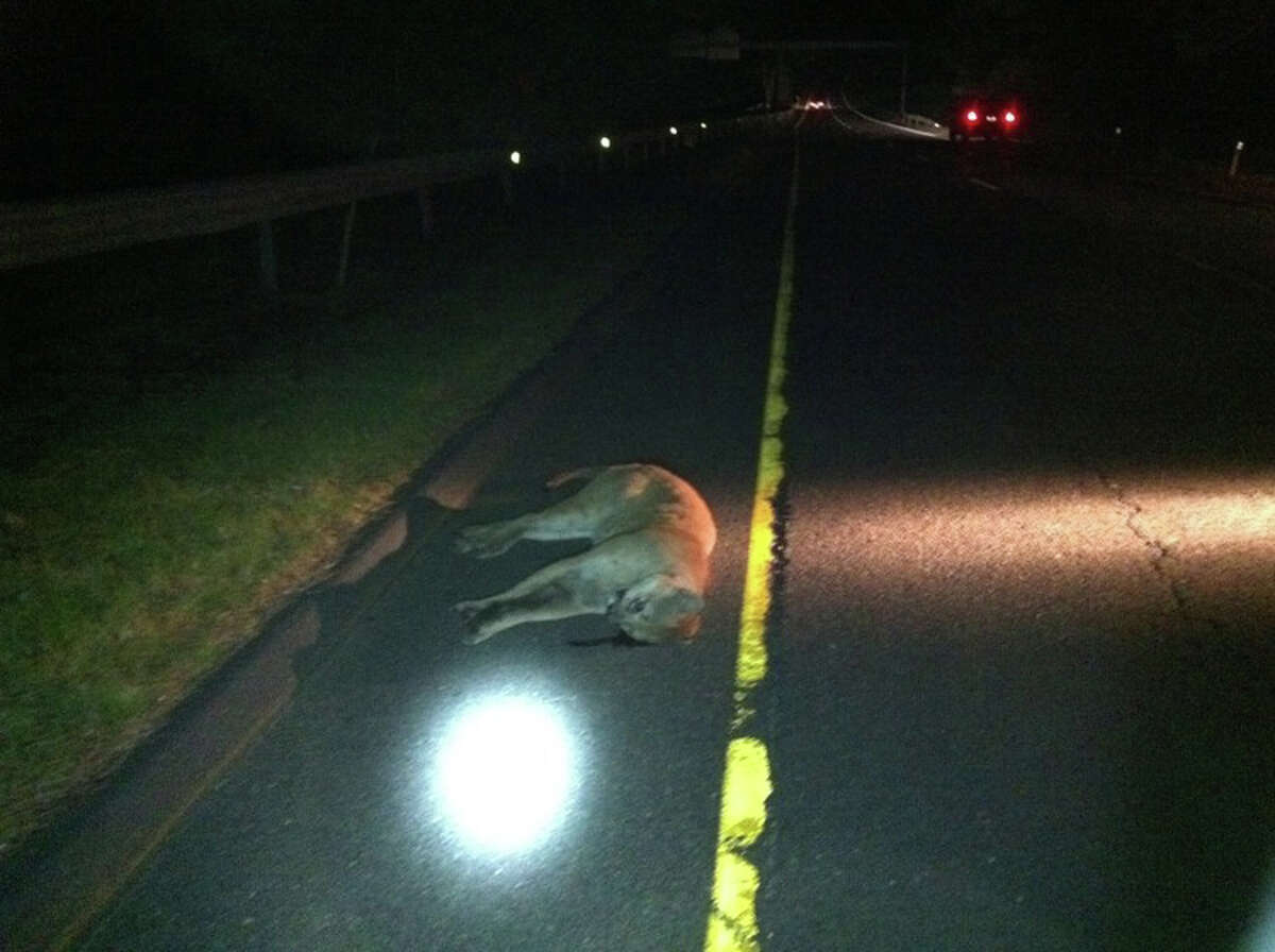 A mountain lion struck by a car and killed on Route 15 in Milford early Saturday morning is believed to be the animal spotted on the Brunswick School campus in northwest Greenwich last Sunday. (Photo courtesy of Connecticut State Police)