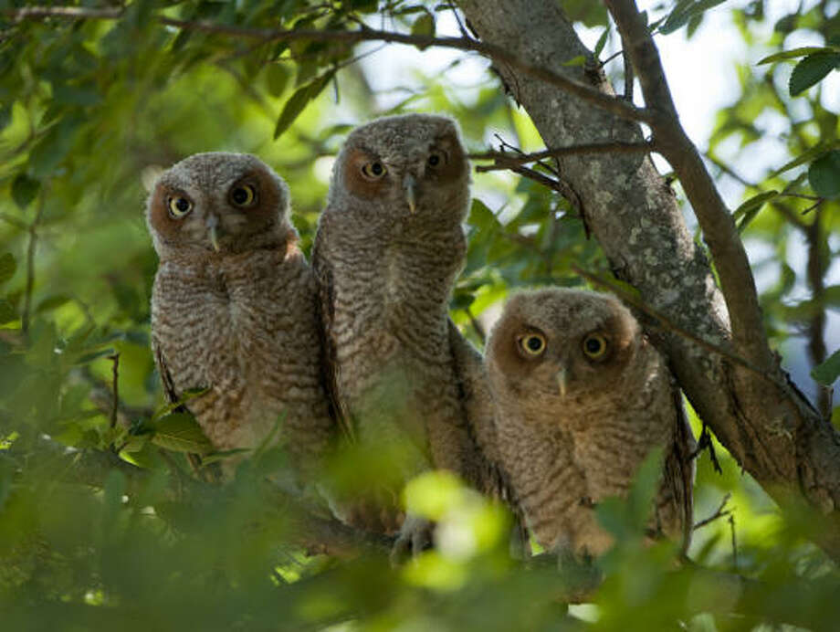 Rice University's mascot is an owl, so the Rice community was quite excited this week when three baby owls were spotted on the university's 285-acre forested campus. Photo: Tommy LaVergne