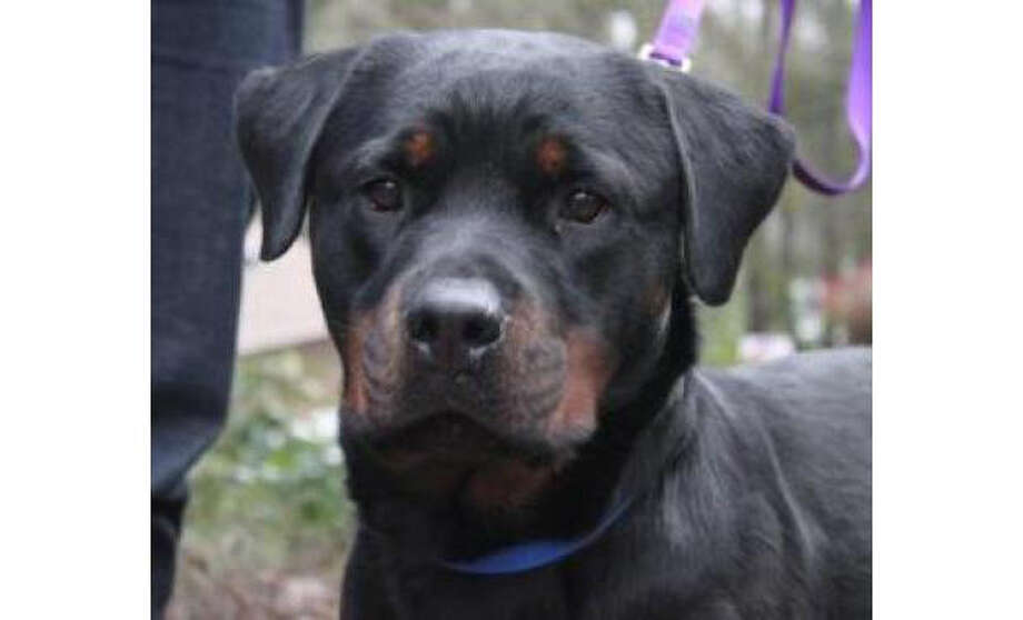 Name: Callie, Rottweiler/PureBreed, Female, Medium, Age: 2 years, 3 months, Adoption Status: Available. Visit: http://www.seattlehumane.org/adopt/pets/dogs Photo: Seattle Humane Society