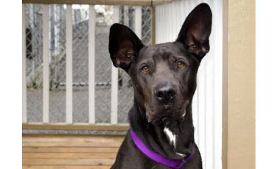 Name: Liquorice, Thai Ridgeback/Mix, Male, Large, Age: 2 years, 4 months, Adoption Status: Available. Visit: http://www.seattlehumane.org/adopt/pets/dogs Photo: Seattle Humane Society