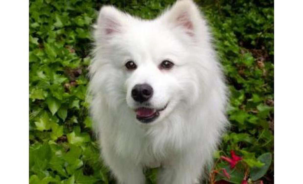 All of the dogs available for adoption at the Seattle Humane Society have been spayed/neutered, vaccinated and microchipped. Here are 20 beautiful dogs that need a loving home. Name: Elliot, American Eskimo/PureBreed, Male, Small, Age: 4 years, Adoption Status: Available. Visit: http://www.seattlehumane.org/adopt/pets/dogs