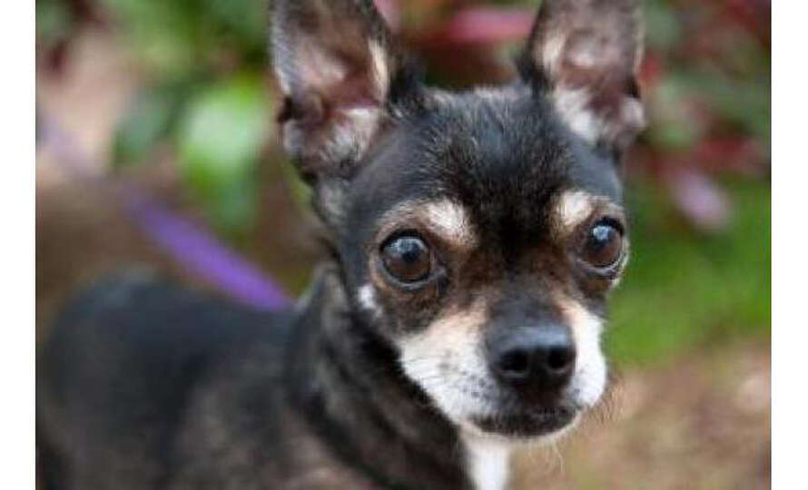 Name Lucy Chihuahua Short Coat Mix Female Small Age