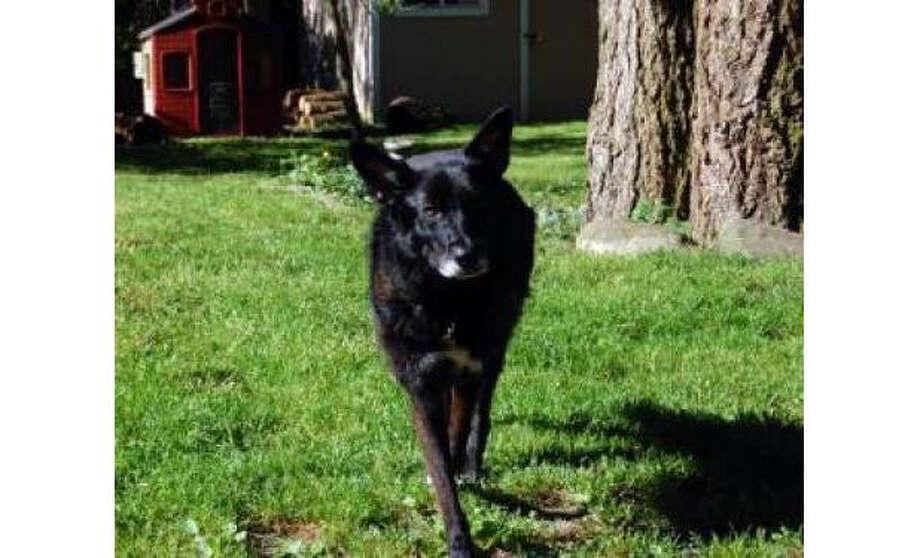 Name: Luna, German Shepherd/Mix, Female, Medium, Age: 4 years, 1 month, Adoption Status: Available. Visit: http://www.seattlehumane.org/adopt/pets/dogs Photo: Seattle Humane Society