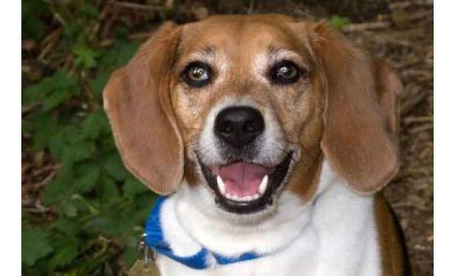 Name: Ruby, Beagle/PureBreed, Female, Medium, Age: 5 years, 1 month, Adoption Status: Available. Visit: http://www.seattlehumane.org/adopt/pets/dogs Photo: Seattle Humane Society
