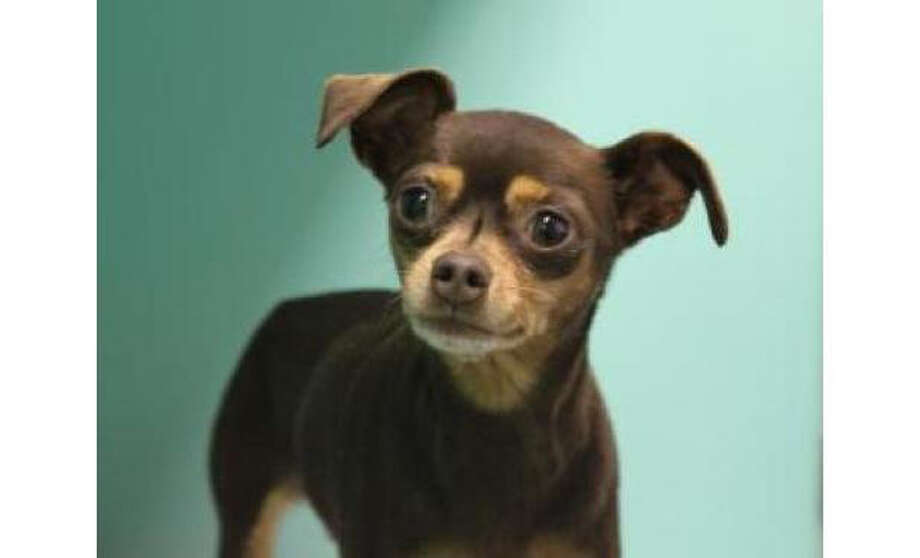 Name: Maya, Miniature Pinscher/Chihuahua, Short Coat, Female, Small, Age: 5 years, 3 months, Adoption Status: Available. Visit: http://www.seattlehumane.org/adopt/pets/dogs Photo: Seattle Humane Society