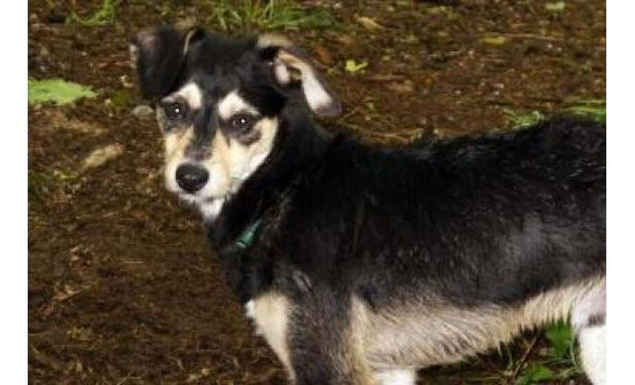 Name: Kirk, Pint-Sized Dynamo! Terrier/Mix, Male, Small, Age: 10 months, Adoption Status: Available. Visit: http://www.seattlehumane.org/adopt/pets/dogs Photo: Seattle Humane Society