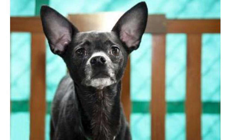 Name: Smokey, Chihuahua, Short Coat/Mix, Male, Small, Age: 5 years, 6 months, Adoption Status: Available, Introduce to:  Kids 16+ yrs, Dogs, Cats. Visit: http://www.seattlehumane.org/adopt/pets/dogs Photo: Seattle Humane Society