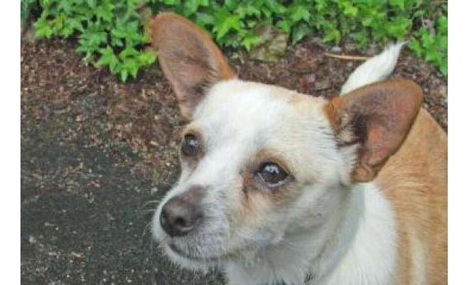 Name: Tyson, Chihuahua, Short Coat/Mix, Male, Small, Age: 5 years, 1 month, Adoption Status: Availab